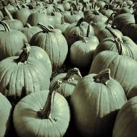 Pumpkin Patch Art Prints & Posters by Geoffe Haney
