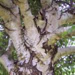 """""""Silver Birch"""" by marlenechallis"""