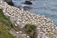 Gannets, Gannets Everywhere