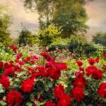 """Red Rose Garden"" by JessicaJenney"