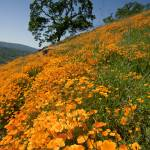 """California Poppy Hillside IV"" by SederquistPhotography"