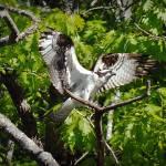 """""""Landing Osprey"""" by bavosiphotoart"""