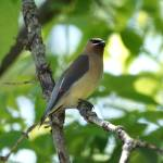 """Cedar waxwing"" by cameragal"