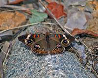Butterfly  Buckeye on Rocks in Autumn