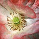 """Unfolding Pink Poppy"" by newimage"