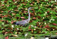 Grey Heron on Nenufar Lake