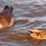 """Canadian Goose Mallard Duck167"" by waterfowlalexandriava"
