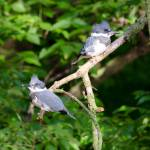 """Belted Kingfishers"" by WildAboutNaturePhotography"