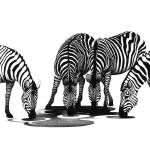 """Zebra Gathering"" by onewomansart"
