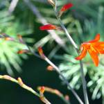 """Crocosmia the Hummingbird Flower"" by OutsideShooter"