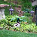 """Mallard Duck Strolling through Garden"" by KsWorldArt"