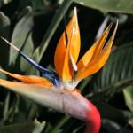 """bird of paradise flower art print"" by derekmccrea"