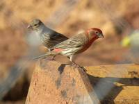 House Finch Mates