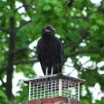 """Black Vulture 20120426_49a"" by Natureexploration"