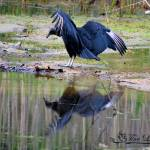 """Black Vulture 20120430_23a"" by Natureexploration"