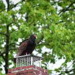 """Turkey Vulture 20120423_2a"" by Natureexploration"