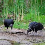 """Black Vultures 20120430_30a"" by Natureexploration"