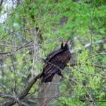 """Turkey Vulture 20120430_45a"" by Natureexploration"
