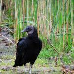 """Black Vulture 20120430_44a"" by Natureexploration"