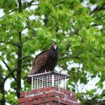 """Turkey Vulture 20120423_8a"" by Natureexploration"