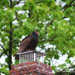 """Turkey Vulture 20120423_9a"" by Natureexploration"