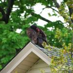 """Turkey Vulture 20120426_58a"" by Natureexploration"
