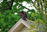Turkey Vulture 20120426_58a