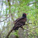 """Turkey Vulture 20120430_60a"" by Natureexploration"
