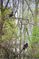 Turkey and Black Vulture 20120430_58a