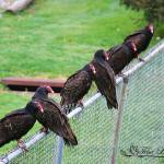 """Turkey Vultures 20120426_21a"" by Natureexploration"