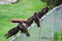 Turkey Vultures 20120426_21a