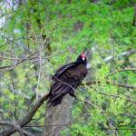 """Turkey Vulture 20120430_47a"" by Natureexploration"