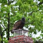 """Turkey Vulture 20120423_4a"" by Natureexploration"