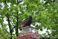 Turkey Vulture 20120423_4a