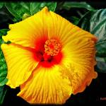 """A Yellow Hibiscus."" by ROBERTSCOTTPHOTOGRAPHYY"