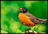 Mr. American Robin