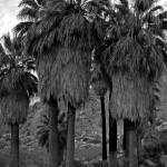 """49 Palms Oasis near Joshua Tree 03/2006"" by photojoe"