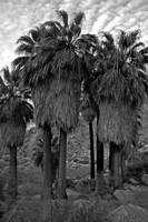 49 Palms Oasis near Joshua Tree 03/2006
