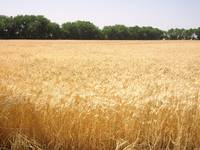 Kansas Wheat