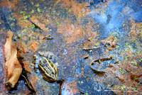 Striped Marsh Frog 20120416_82a