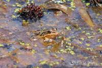 Striped Marsh Frog 20120416_123a