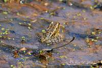 Striped Marsh Frog 20120416_124a