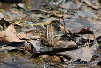 Striped Marsh Frog 20120416_126a