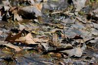 Striped Marsh Frog 20120416_127a