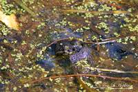 Bull Frog 20120430_231a