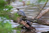 Painted Turtles 20120415_79a