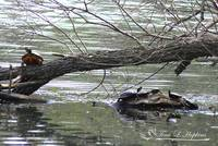 Painted Turtles 20120415_88a