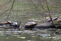 Painted Turtles 20120415_91a