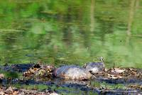 Painted Turtles 20120419_2a