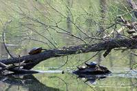 Painted Turtles 20120419_164a